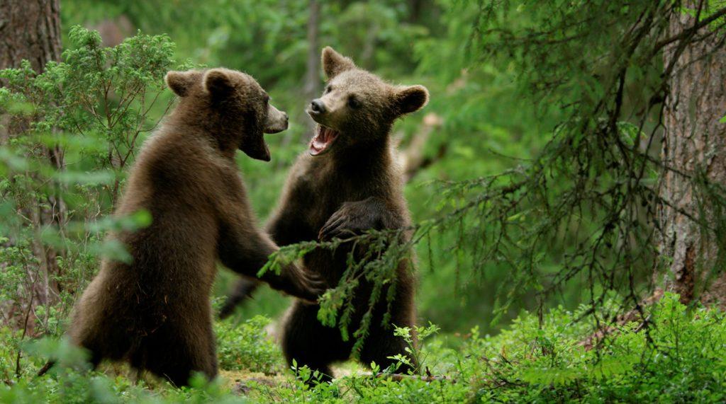 Die wilden Tiere Lapplands spielen neben dem Protagonisten Ailo eine wichtige Rolle in der Naturdokumentation.