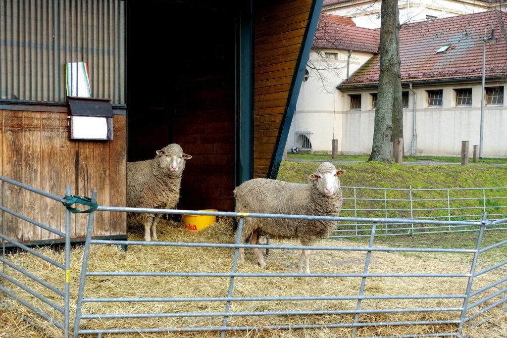 Zwei weiße Schafe in ihrem Gehege, blicken in die Kamera.